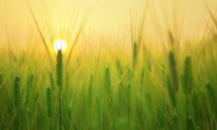Deux récoltes: la moisson et la vendange