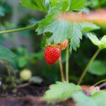 LE RÉGIME ALIMENTAIRE ORIGINEL : A BASE DE PLANTES