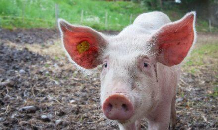 QUELQUES CONSÉQUENCES A LA CONSOMMATION D'ANIMAUX IMPURS SUR LA SANTÉ